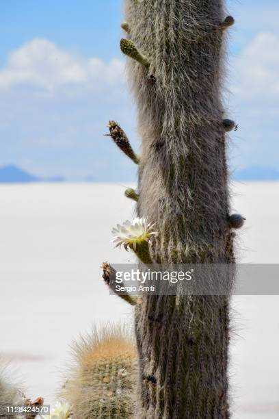 Old-man-of-the-Andes cactus flower
