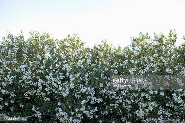 oleander bush (nerium oleander) - barstow stock photos and pictures