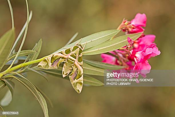 oleander hawk moth daphnis nerii - photostock stock pictures, royalty-free photos & images