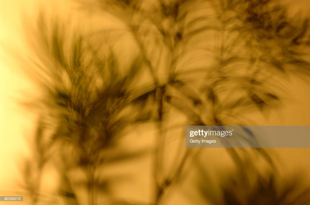 Oleander plant shadow, with movement, on wall : Stock Photo