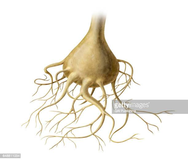 Olfactory cell Each of the sensory neurons constituting olfactory receptors their axons come together to form olfactory nerves