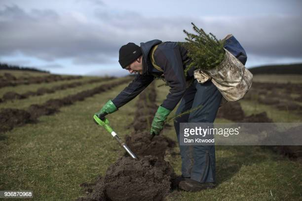 Oli a worker from 'The Forestry Workers' CoOperative' plants Sitka Spruce at the North Doddington site on March 22 2018 in Doddington England The...