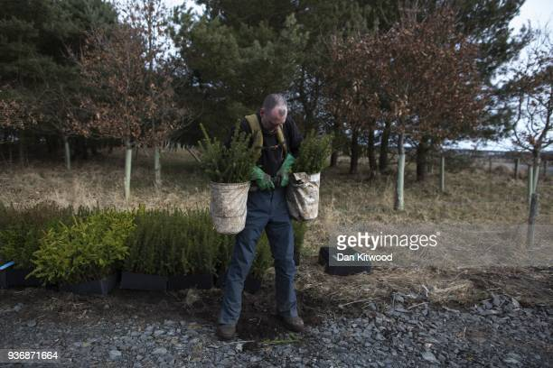 Oli a workers from 'The Forestry Workers' CoOperative' loads up with Sitka Spruce to start planting on March 22 2018 in Doddington England The...