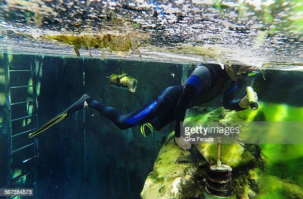 Olin Feurbacher fisheries biologist with US Fish and Wildlife searches through the algae in a 20 foot deep00gallon aquamarine tank for babies from...