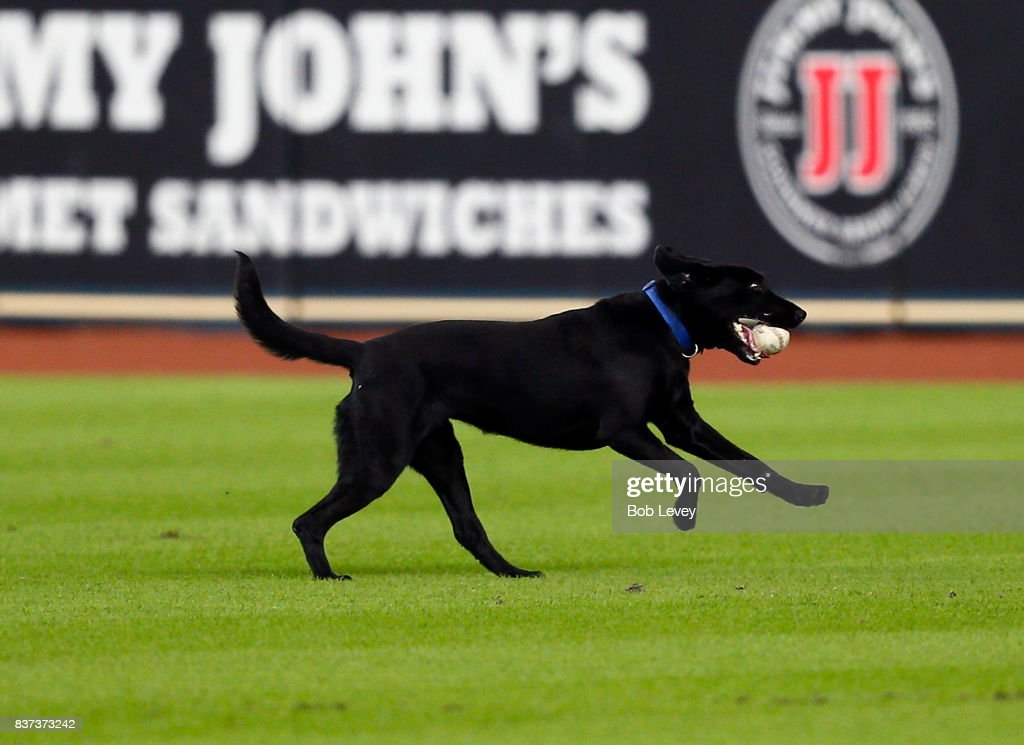 Olive, a bomb sniffing dog plays fetch with some of the Houston Astros pitchers during batting practice at Minute Maid Park on August 22, 2017 in Houston, Texas.