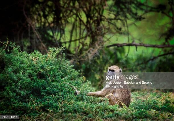 Olive Baboon Against Lush Greenery in Amboseli, Kenya