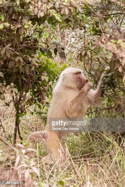 olive baboon (papio anubis) albino - albino monkey stock pictures, royalty-free photos & images