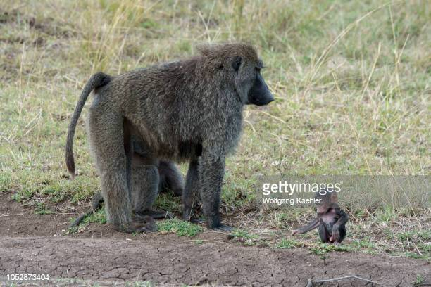 Olive baboon also called the Anubis baboon with a newlyborn baby in the grasslands of the Masai Mara National Reserve in Kenya
