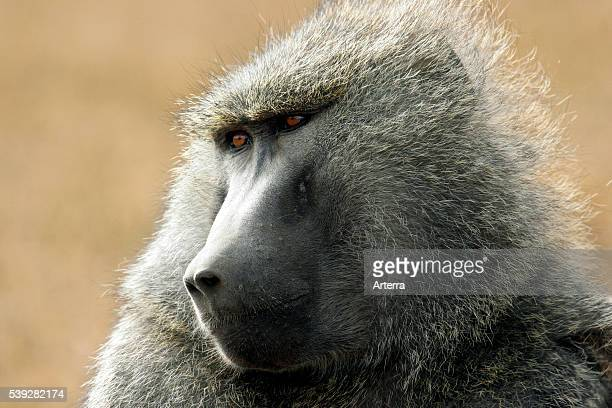 Olive baboon / Anubis baboons close up portrait Lake Nakuru National Park Kenya East Africa