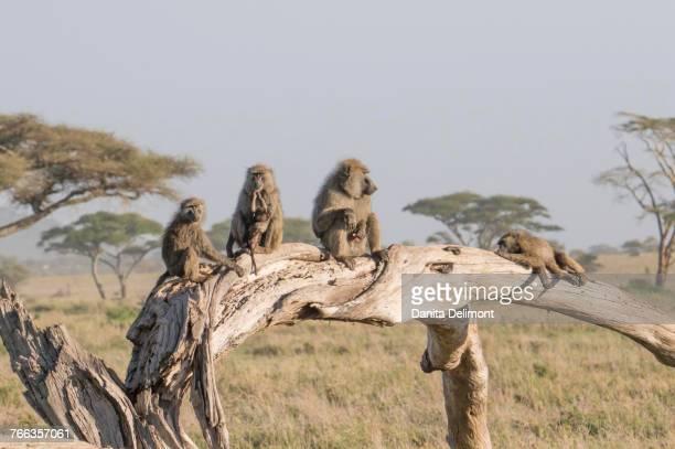 Olive baboon (Papio anubis) family, Serengeti, Tanzania