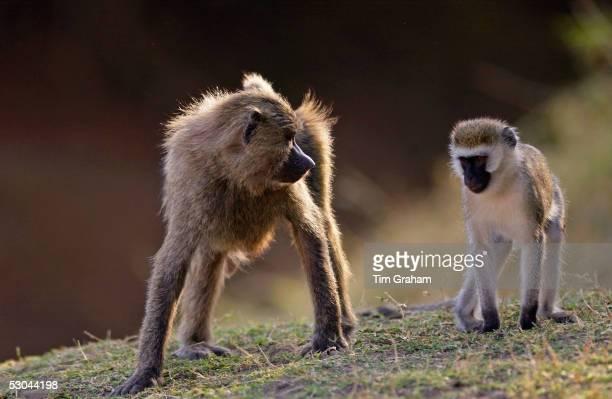 Olive Baboon glaring at Vervet Monkey Grumeti Tanzania