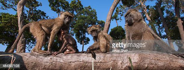 olive baboon juveniles playing on a fallen tree - baboon stock pictures, royalty-free photos & images