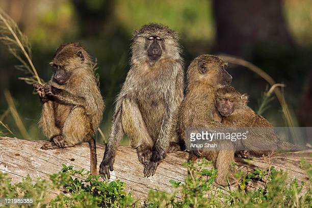 olive baboon juveniles resting on a fallen tree - baboon stock pictures, royalty-free photos & images