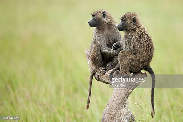 olive baboon juveniles sitting on  branch  - baboon stock pictures, royalty-free photos & images