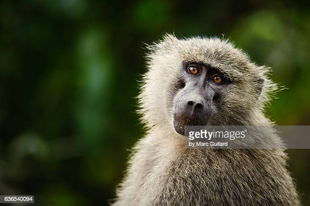 olive baboon (papio anubis), lake manyara national park, tanzania - baboon stock pictures, royalty-free photos & images
