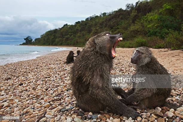 Olive baboon male and female with young baby sitting on the shore of Lake Tanganika