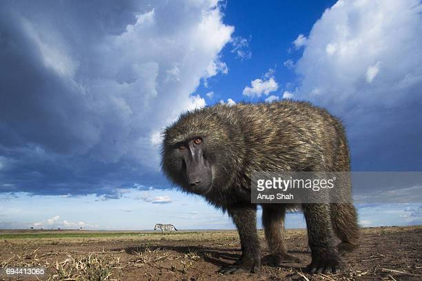 olive baboon male peering with curiosity - zoology stock pictures, royalty-free photos & images