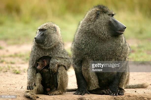 Olive baboon Papio anubis male female and baby Kenya