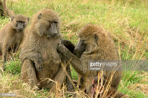 Olive baboon Papio anubis one female grooming another Kenya
