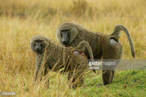 Olive baboon Papio anubis pair showing hairless patches on rump Kenya
