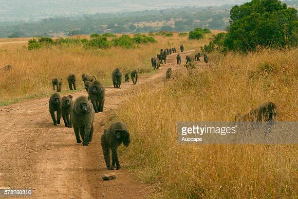 Olive baboon Papio anubis troop making their way along road Masai Mara National Reserve Kenya East Africa