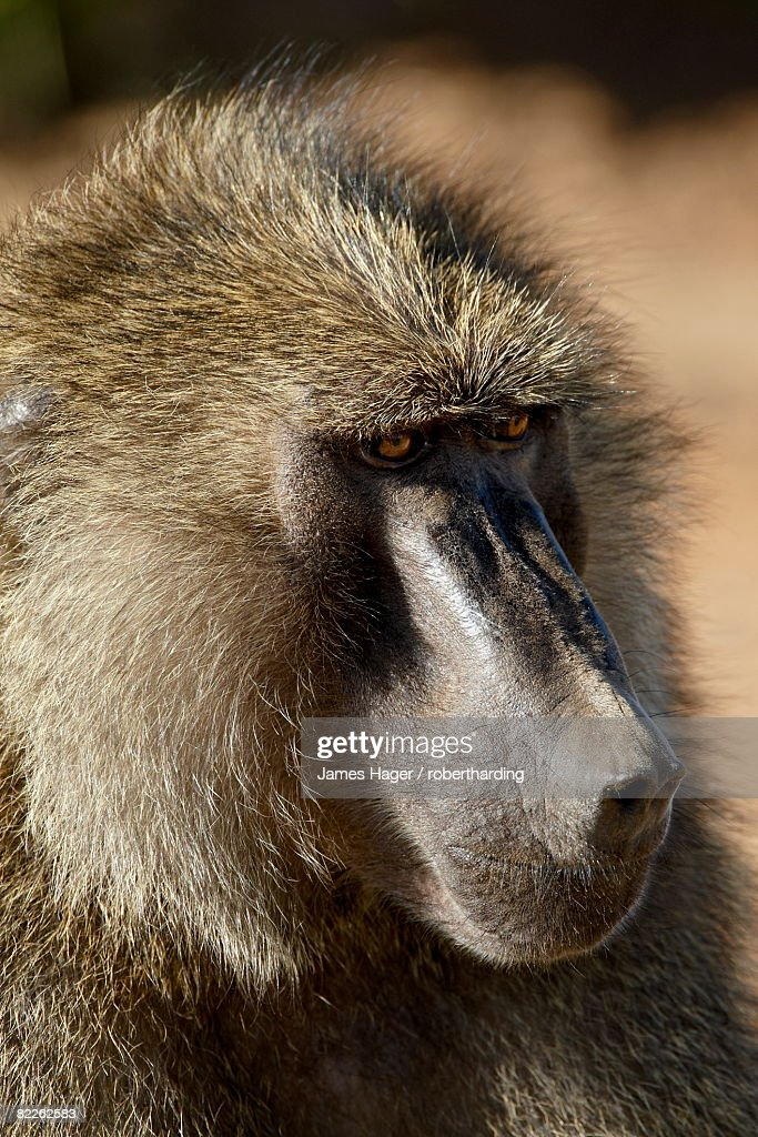 Olive baboon (Papio cynocephalus anubis), Samburu National Reserve, Kenya, East Africa, Africa : Stock Photo