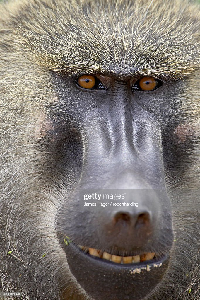 Olive baboon (Papio cynocephalus anubis), Serengeti National Park, Tanzania, East Africa, Africa : Stock Photo