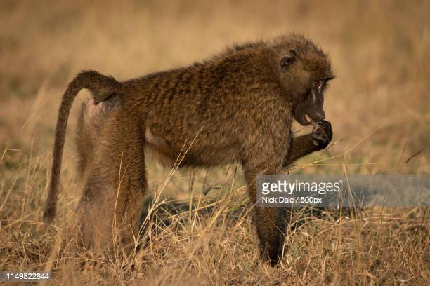 olive baboon stands putting paw to mouth - monkey paw stock photos and pictures