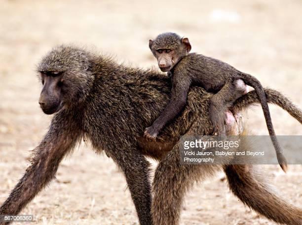 Olive Baboon with Young on Back in Samburu, Kenya