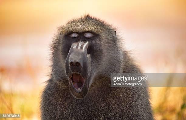Olive baboon yawning