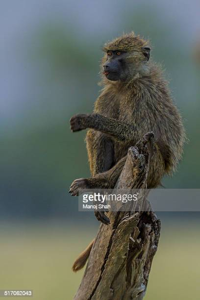 Olive baboon youngster