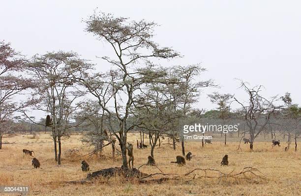Olive Baboons Grumeti Tanzania