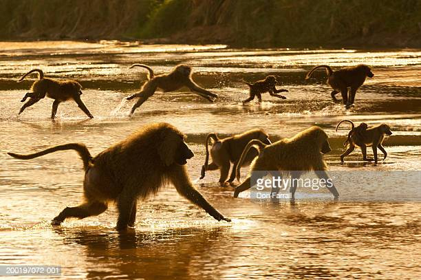 olive baboons (papio anubis) in river (digital composite) - baboon stock pictures, royalty-free photos & images