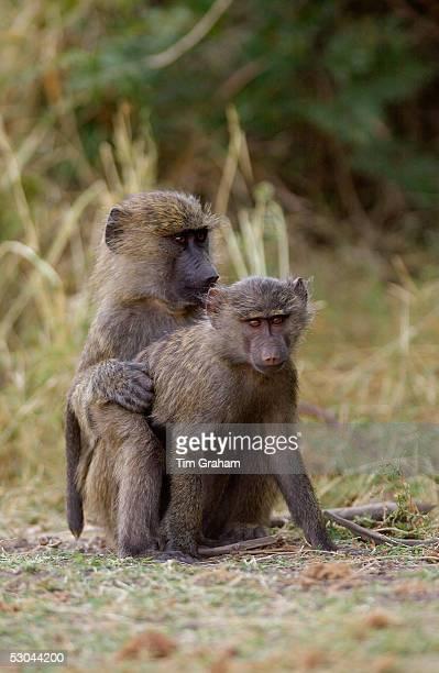 Olive Baboons mating Grumeti Tanzania