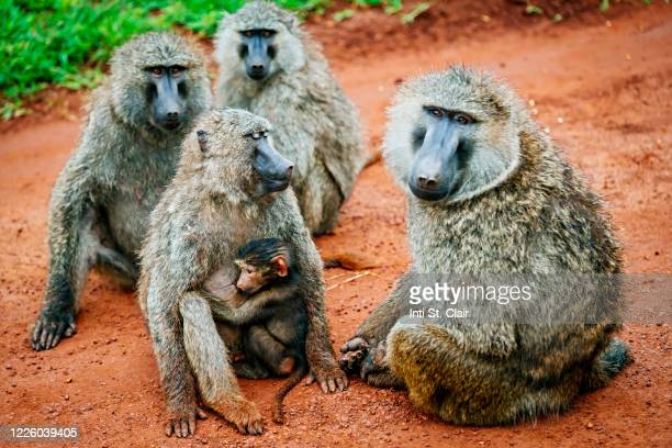 olive baboons on red dirt road in akagera national park, rwanda - baboon stock pictures, royalty-free photos & images