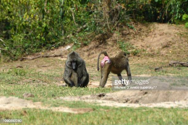 olive baboons on the nile river shores - baboon stock pictures, royalty-free photos & images