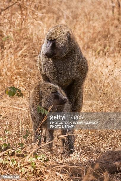 Olive baboons Papio anubis