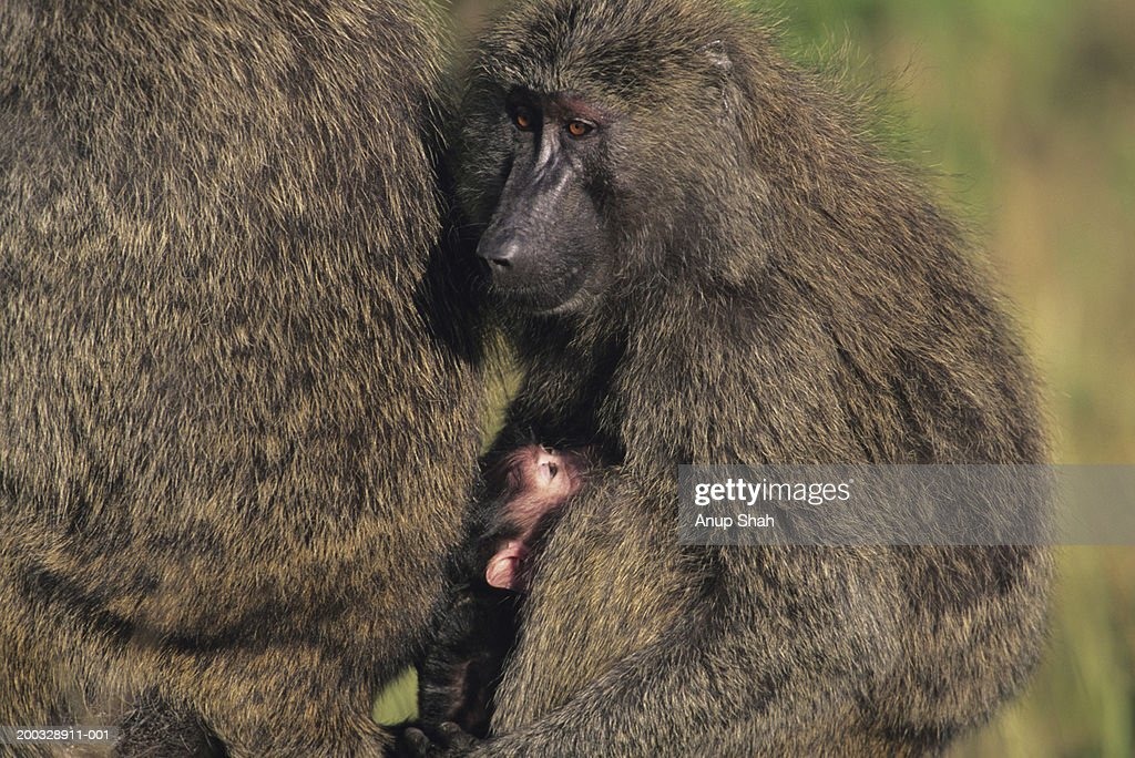 Olive baboons (Papio anubis), protecting young, Kenya : Stock Photo