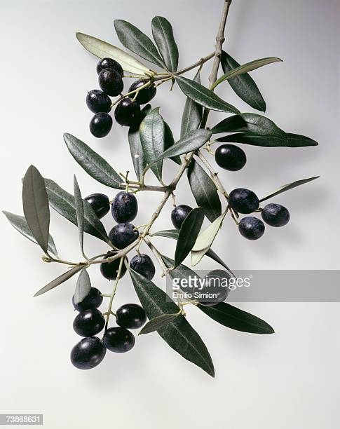 Olive branch, close-up