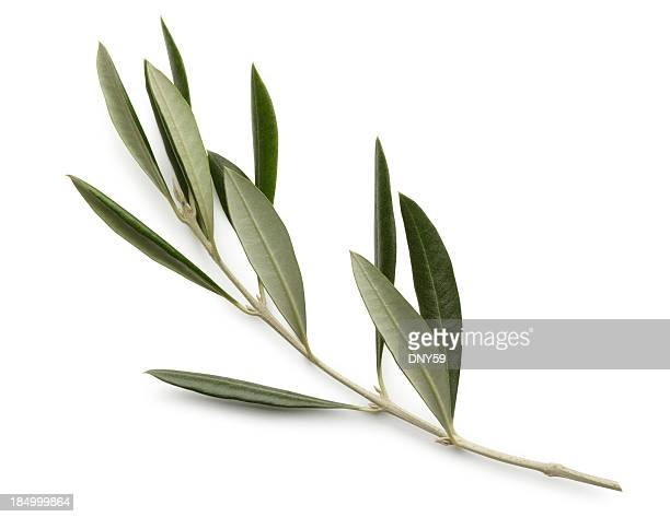 Olive Branch Isolated On White Background