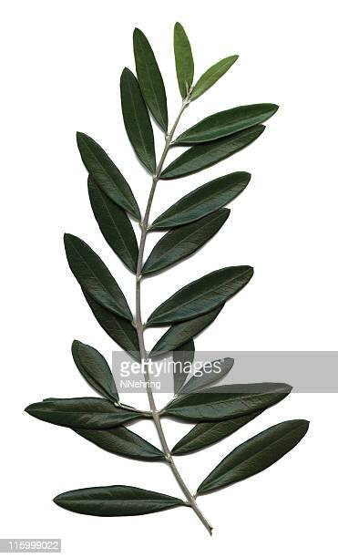 olive branch, olea europaea - olive branch stock pictures, royalty-free photos & images