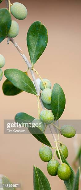 Olive branch on tree in Val D'Orcia Tuscany Italy