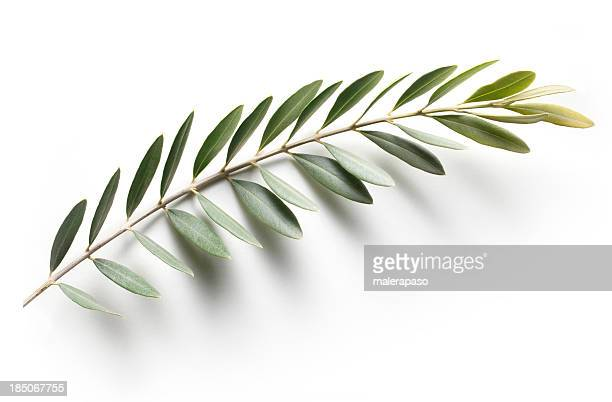 olive branch. peace symbol. - olive branch stock pictures, royalty-free photos & images