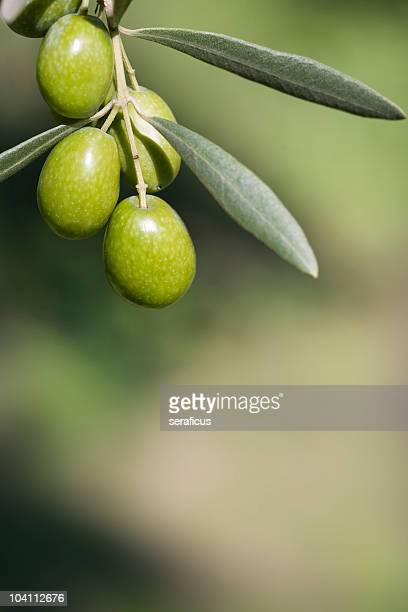 olive branch - olive orchard stock photos and pictures