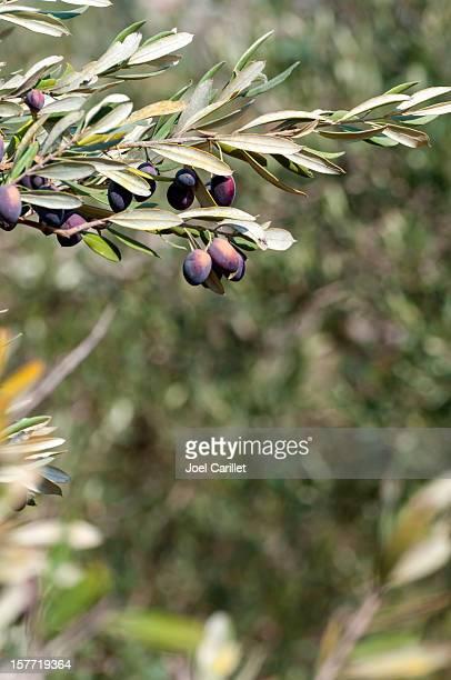 Olive branch mit Oliven