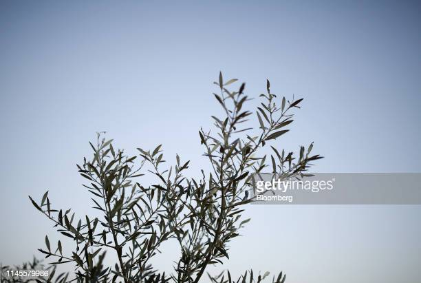 Olive branches grow in an olive grove in La Roda de Andalucia Spain on Wednesday March 13 2019 The relationship between Washington and Madrid is...