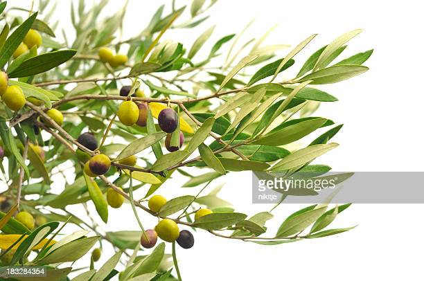 Olive branches with olives