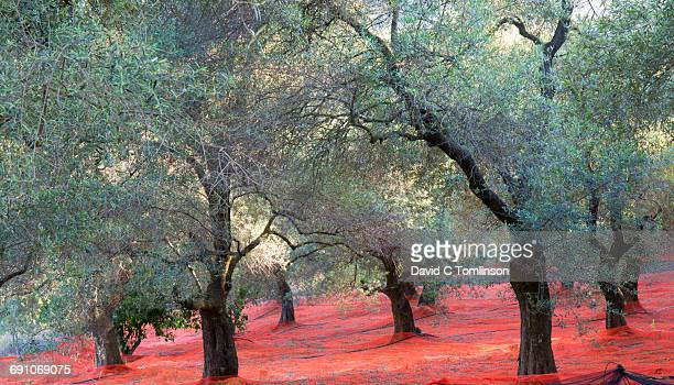 Olive grove and colourful nets, near Elos, Crete