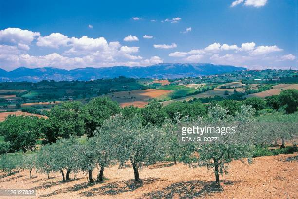 Olive grove and landscape near Montefalco, Umbria, Italy.