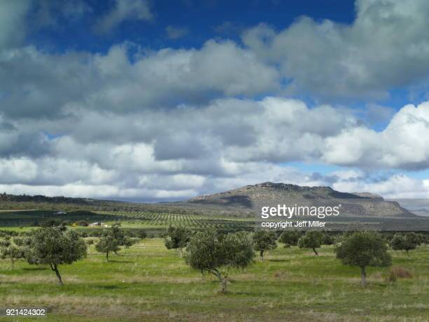 olive grove, grampians, victoria. - grove stock photos and pictures